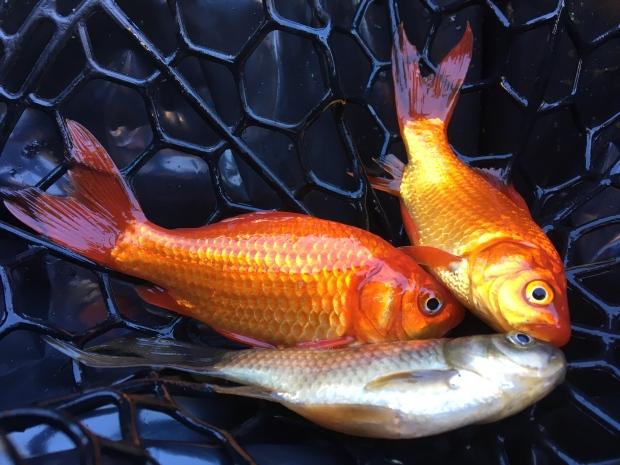 St albert guts ponds of invasive 39 monster 39 goldfish for Goldfish varieties for ponds